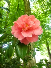 pink camellia in Laurelhurst park tree green